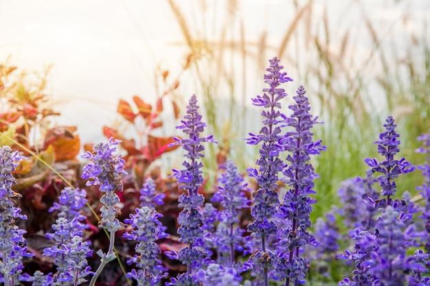 Красивый фиолетовый цветок со стеклянным цветком и желтым цветением в саду, когда утреннее солнце