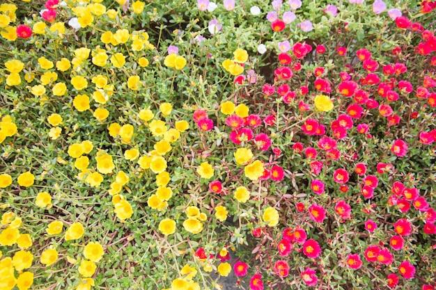 朝の太陽が降ると庭に咲くピンクの赤紫と黄色のポルトラカの花