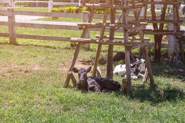 牛と子牛の農場で、自然の背景