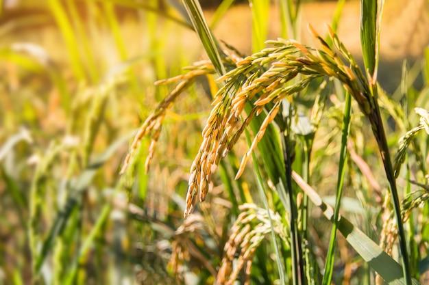 日光と水田で熟した米のクローズアップ