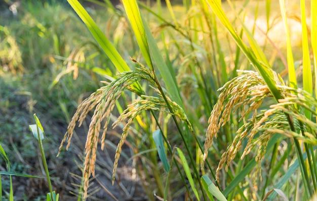 Закрыл созревания риса в рисовом поле с солнечным светом