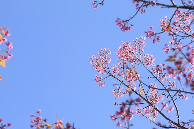 クンサザン国立公園、ナン、タイで青い空を背景にピンクのプルナスセラソイデスの花