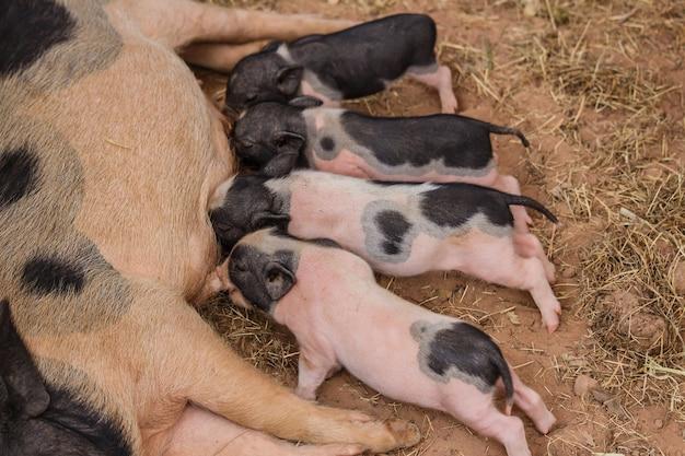 新生児の豚は母親の豚から搾り出そうとしている。