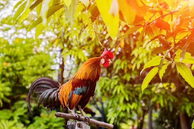 フェンスに朝の鶏チンポ。