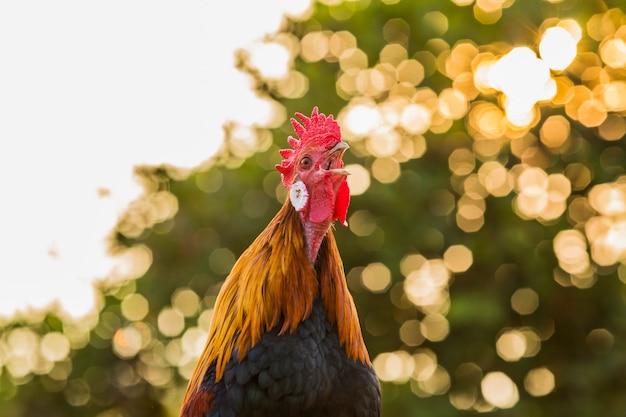 朝の鶏チンポ
