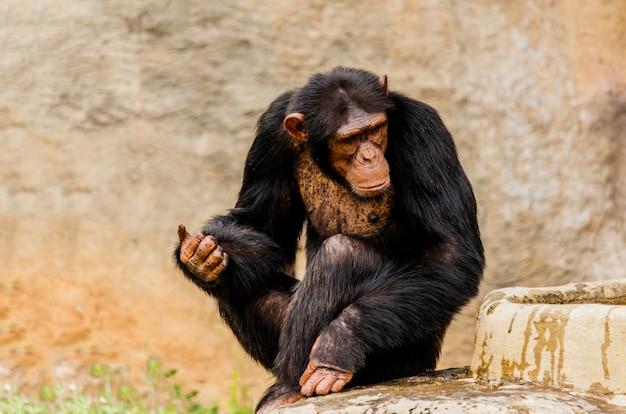黒いチンパンジーの肖像画