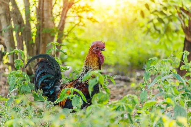 朝の光と緑の性質の雄鶏