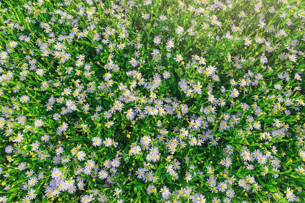 Цветок ромашка абстрактный фон. белые цветы на зеленой траве в саду