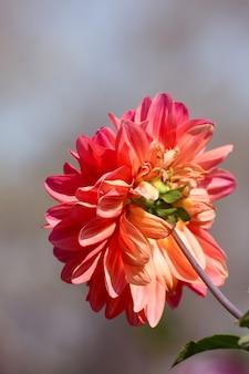 庭でダリアの花を閉じる