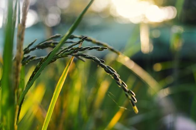 日没のフィールドの美しい水稲。