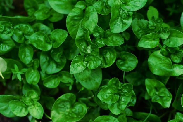 Свежий кресс-салат в огороде
