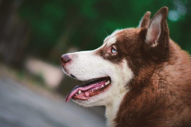 かわいいシベリアンハスキー犬に座って、庭で何かを見て
