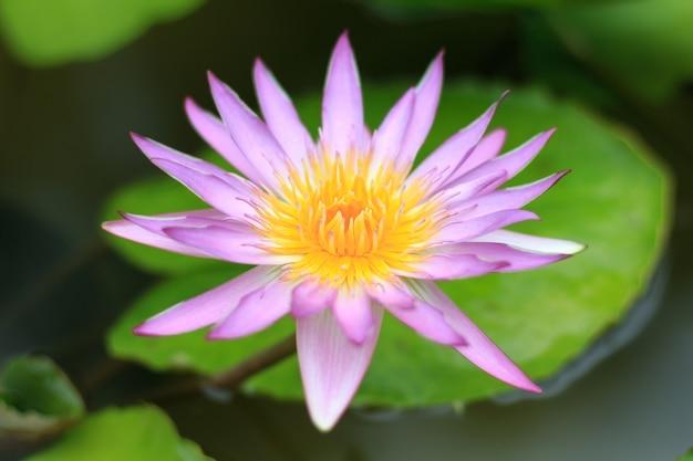 クローズアップの蓮の花