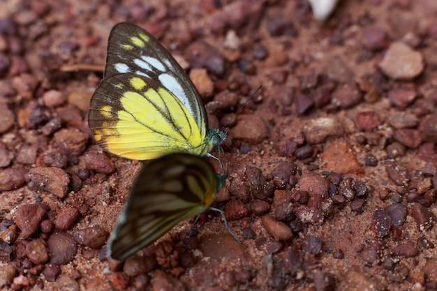 美しい蝶選択フォーカスまたはアウトフォーカス、地面にクローズアップ蝶