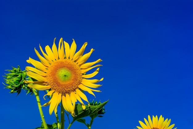 青い空の上の朝の光と庭の美しいひまわり