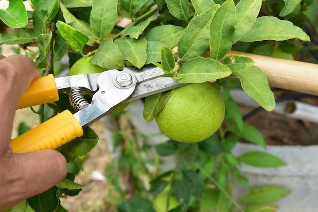 ガーデナーの手はハサミを使って庭の野菜(ライム)を収穫しました。