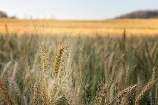 晴れた日のフィールドで大麦をクローズアップ。美しい自然と新鮮な空気。