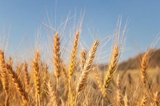 Ячмень в поле с солнечным днем. красивая природа и свежий воздух.