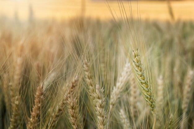 Желтые колосья. пшеничное поле. ячменное поле.