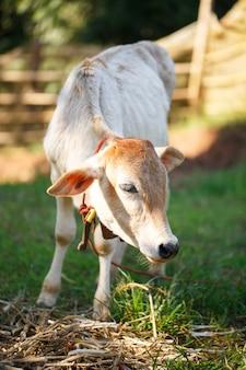 夏の芝生の上の牛します。