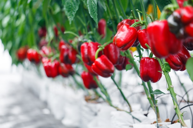 農業の温室で熟した赤ピーマンを閉じる