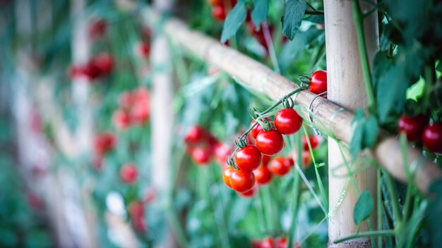 農業の温室で熟した赤いトマト