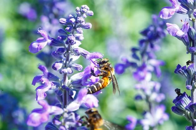ラベンダーの花で賑やかバンブルミツバチ