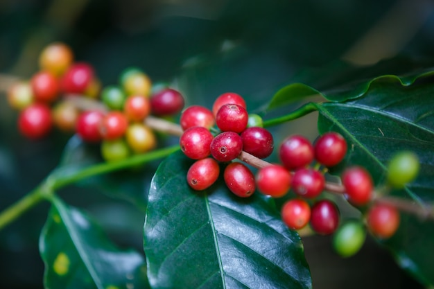 コーヒーの木に熟したアラビカコーヒーベリーフルーツを閉じる