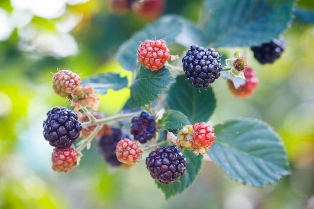 Свежие спелые ягоды ежевики в саду