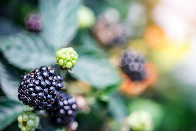 庭で新鮮な熟したブラックベリーを閉じる
