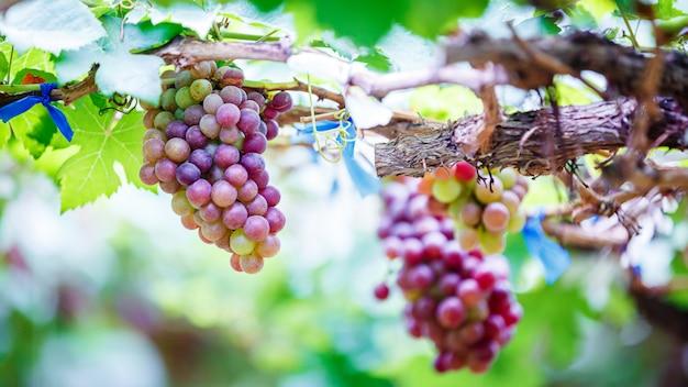 Крупный план гроздья спелого красного винограда на лозе