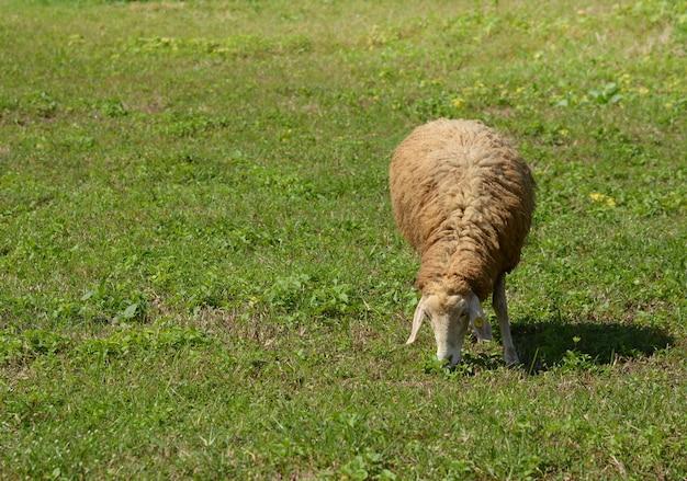 羊は緑の畑で草を食べる。