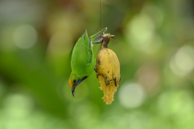 ゴールデンフロントリーフバード、緑色の鳥。