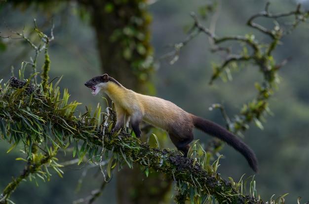 Желтогорлый куница идет по дереву, чтобы найти еду в тропическом лесу на севере таиланда