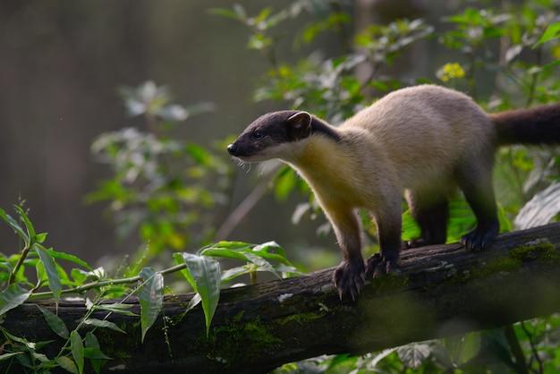 タイ北部の熱帯雨林で食べ物を見つけるために木の上を歩いて黄色のどテン
