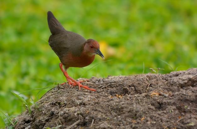 緑豊かな自然、タイの美しい鳥と血色の良い胸のクレイク。