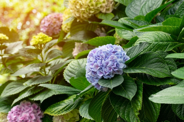 美しい青紫色のアジサイやホテンシアの花(アジサイマクロラ)