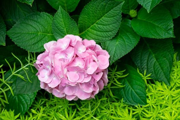 青から紫までのわずかな色のバリエーションの美しい青いアジサイまたはオルテンシア花(アジサイ)。