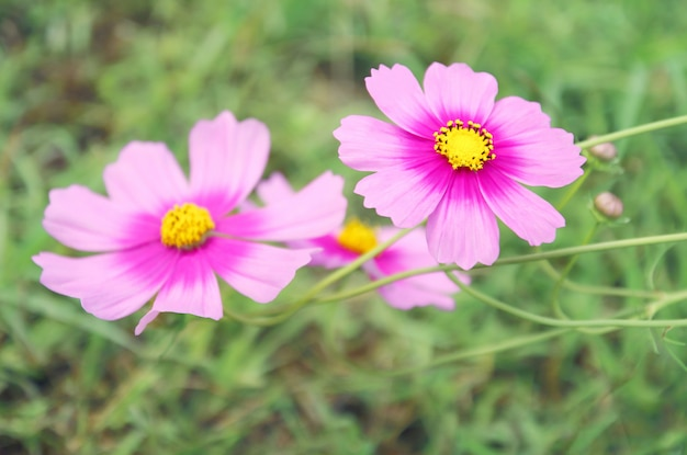 背景をぼかした写真の庭に咲く美しいピンクのコスモスの花。