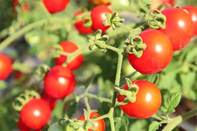 背景をぼかした写真とコピースペースと庭で育った新鮮な赤い完熟トマトのクローズアップ。