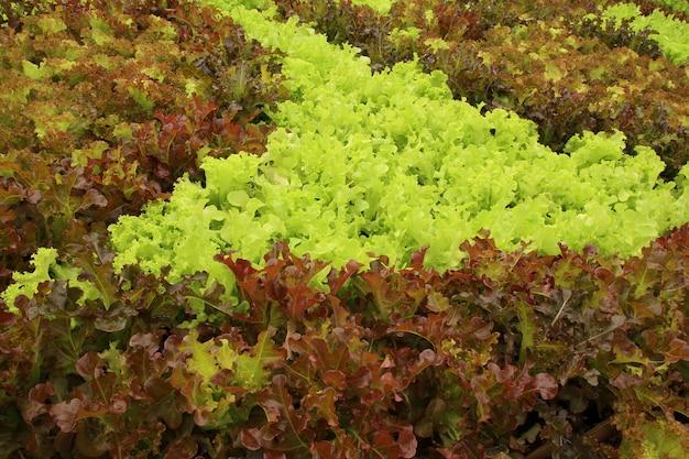 庭で成長しているレタスの植物を閉じる