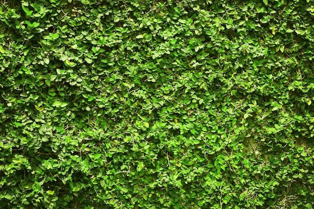 Зеленые листья плюща покрывали стену. из натурального дерева забор для дизайна произведения искусства.