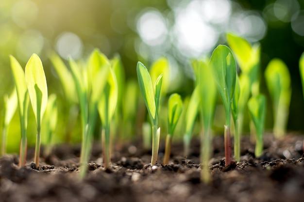 豊富な土壌からトウモロコシの苗が生育しています。