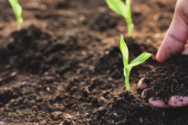 トウモロコシの苗は肥沃な土壌から成長しています。