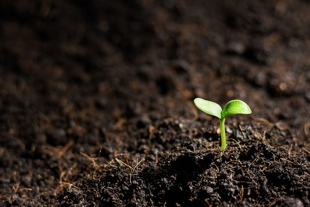 かぼちゃの苗は土壌から成長しています。