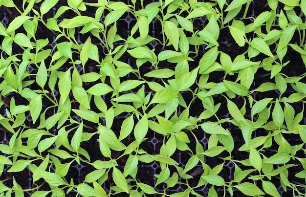 温室内のベビーチリの植物。