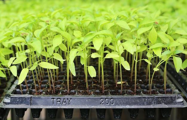 温室内のベビーチリの植物