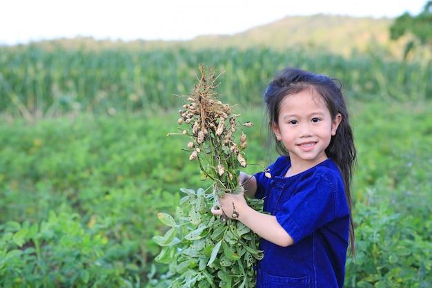 小さな農家は農場のプランテーションで落花生を収穫する。