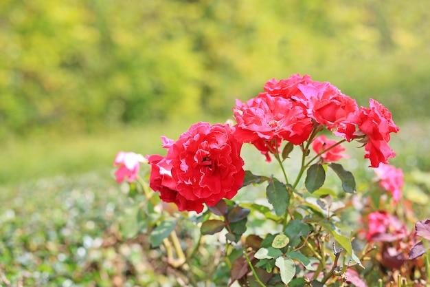 美しい赤いバラは庭で花。