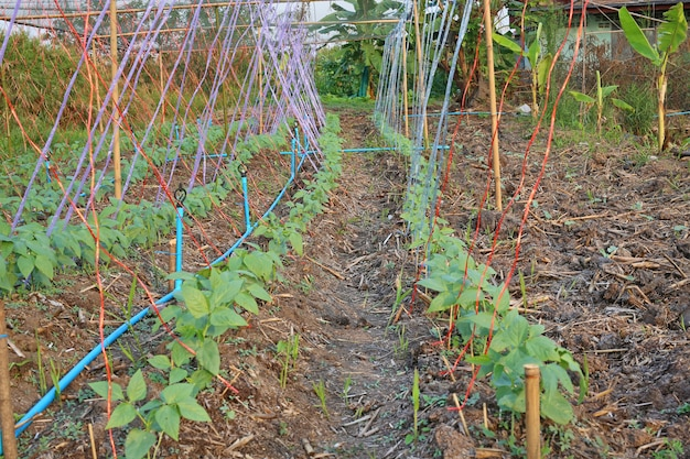 レンズ豆の植物。